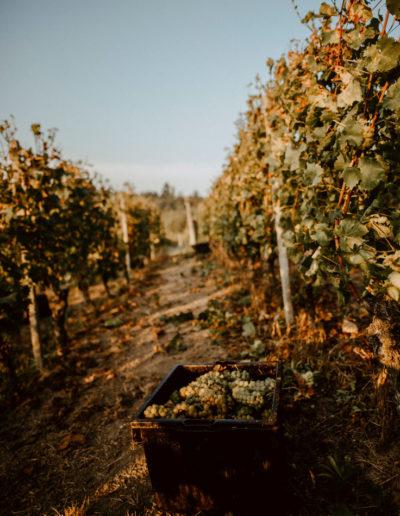 Grappoli d'uva presso Matteo Soria Winery, Castiglione Tinella, Langhe, Piemonte
