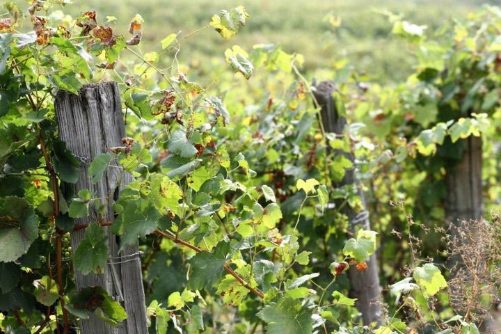 Le nostre vigne, Piemonte