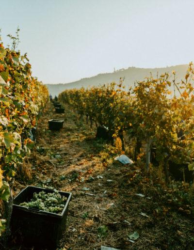 Vendemmia presso Matteo Soria Winery, Castiglione Tinella, Langhe, Piemonte